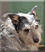 Kyzmit the Australian Cattle Dog, Borzoi, Scottish Terrier