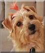 Zoe the Norfolk Terrier