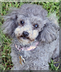 Piper the Toy Poodle