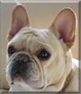 Ivy the French Bulldog
