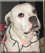 Dooley the American Bulldog