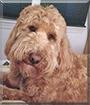 Leo the Golden Retreiver, Poodle