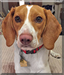Ollie the Beagle/American Foxhound