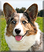 Gabriel the Cardigan Welsh Corgi