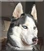 Denali the Siberian Huskyi