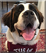 Daisy the Saint Bernard