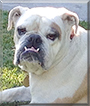 Chandler the English Bulldog