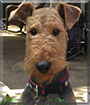 Waylon the Airedale Terrier