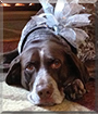 Dozer the German Shorthaired Pointer