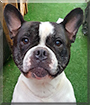 Spike the French Bulldog, Staffordshire Bull Terrier