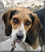 Mina the Beagle, Blue Tick Coonhound Mix