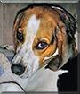 Jameson the English Foxhound