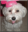 Gracie the Havanese