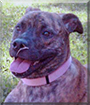 Maya the Bullmastiff mix