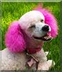 Sammy the Poodle
