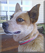 Amber the Australian Cattledog