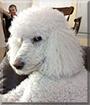 Sophie the Standard Poodle