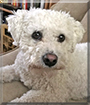 Finn the Bichon Frise
