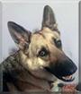 Max the German Shepherd Dog