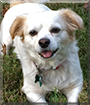 Ollie the Cavalier King Charles Spaniel/Bichon Frise