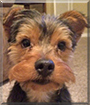 Nico the Yorkshire Terrier