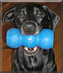 Willie the Labrador Retriever, German Shepherd