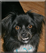 Mojo the Pekinese, Border Collie