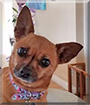 Ruby the Chihuahua mix