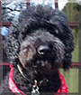 Horace the Standard Poodle