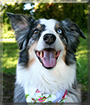 Katie the Australian Shepherd