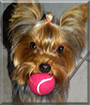 Lola the Yorkshire Terrier