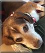 Benny the Beagle