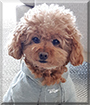 Stewart the Toy Poodle