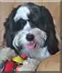 Karma the Tibetan Terrier