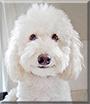 Oscar the Poodle Mix