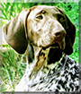 Abby the German Shorthaired Pointer