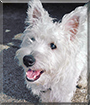 Oscar the West Highland Terrier