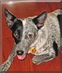 Pepper the Australian Cattle Dog