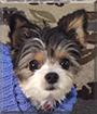 Mabel the Yorkie/Chihuahua/American Eskimo Dog