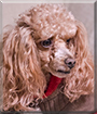 Jasper the Toy Poodle