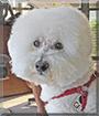 Jake the Bichon Frise/Poodle