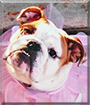 Sophie the English Bulldog