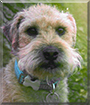 Gatsby the Lakeland Terrier