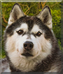 Landy the Siberian Husky
