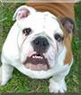 Atlas the English Bulldog