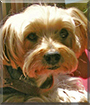 Brody the Yorkshire Terrier
