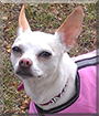 Jazzie the Chihuahua, Italian greyhound mix