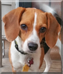 Clover Anne the Beagle