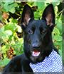 Beari the German Shepherd Dog