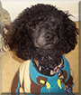 Valentino the Miniature Poodle